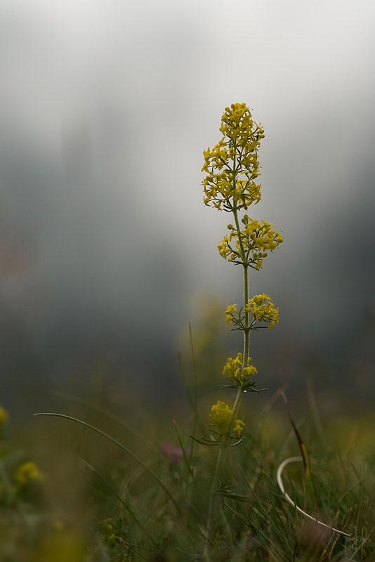 Gaillet jaune (Galium verum)