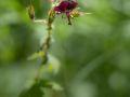 Géranium brun (Geranium phaeum)