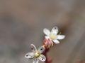 Orpin à feuilles épaisses (Sedum dasyphyllum)