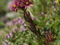 Joubarbe des montagnes (Sempervivum montanum)