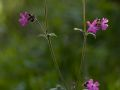 Compagnon rouge (Silene dioica)