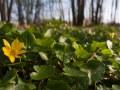 Ficaire (Ranunculus ficaria)