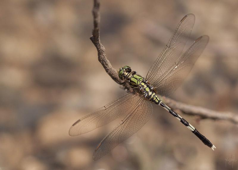 Variegated Green Skimmer mâle (Orthetrum sabina)
