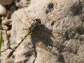 Gomphe à crochets (Onychogomphus uncatus)