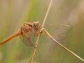 Libellule écarlate femelle (Crocothemis erythraea)