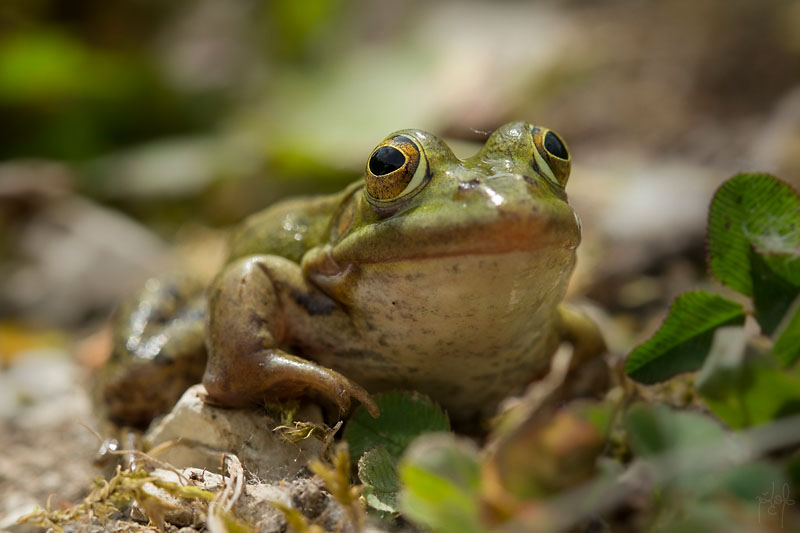 Petite grenouille verte ou Grenouille de Lessona (Pelophylax lessonae)