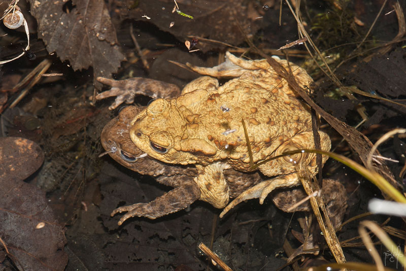 Accouplement de crapauds communs (Bufo bufo)