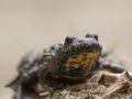 Sonneur à ventre jaune (Bombina variegata)