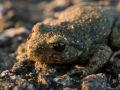 Crapaud accoucheur (Alytes obstetricans)