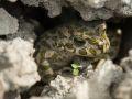Crapaud vert femelle (Bufo viridis) caché dans un trou