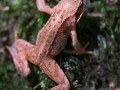 Grenouille rousse grimpant sur la mousse au pied d'un chêne.