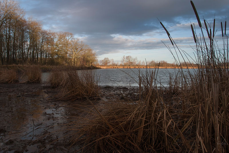 Roselière en bord d'étang