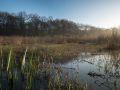 Queue de l'étang neuf. Roselières à Jonc des tonneliers (scirpus lacustris). Présence d'iris.