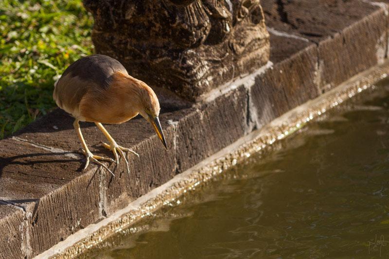 Crabier malais (Ardeola speciosa)