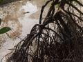 Mangrove à marée basse à palétuviers (Rhizophora sp.)