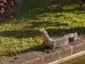 Varan en bordure de plan d'eau