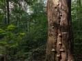 Vieux hêtre à champignons au bord d'une trouée