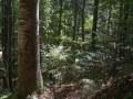 Semis de sapin sous un gros bois de hêtre