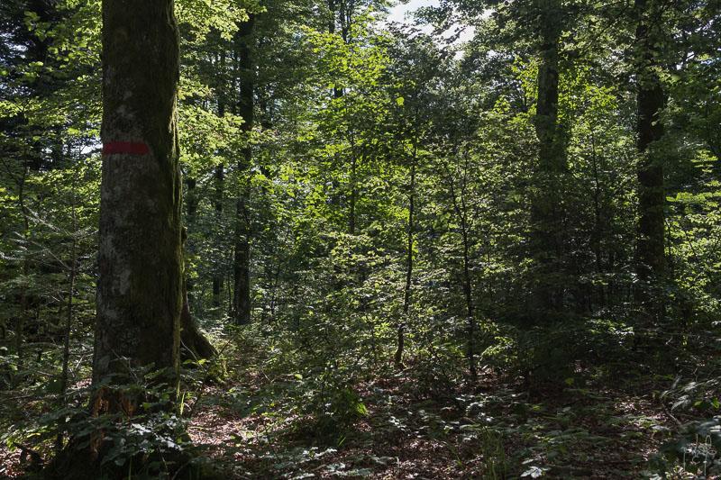 Régénération naturelle de hêtre sous un bois moyen d'érable sycomore