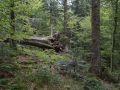 Chablis d'un très gros bois de sapin