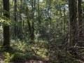 Chandelle et volis de hêtre dans une sapinière-hêtraie d'altitude