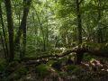 Chablis de chêne dans un talweg