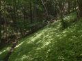 Sous-bois envahi par la Balsamine à petites fleurs