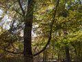 Hêtre aux branches basses