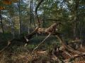 Houppier de chêne mort
