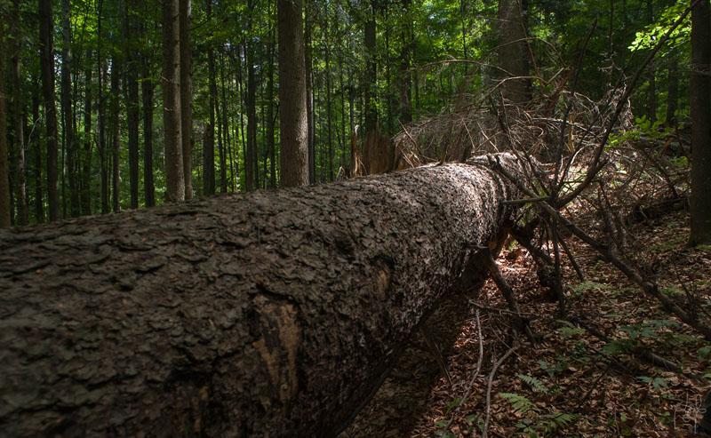 Très gros tronc au sol