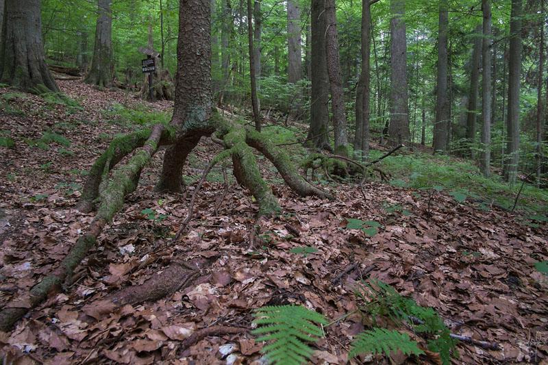 Epicéa ayant poussé sur un tronc