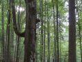 Chandelle d'un très gros bois de hêtre