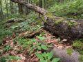 Tronc de hêtre en décomposition au sol
