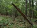 Branche de hêtre plantée après sa chute