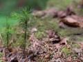 Semis d'épicéa sur un tronc mort au sol