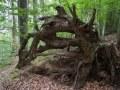 Grosses racines d'un chablis