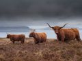 Vaches (Highland cattle)