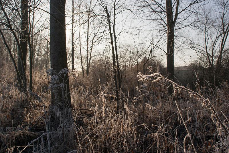 Grandes herbes gelées sous des peupliers, en bord de Marne
