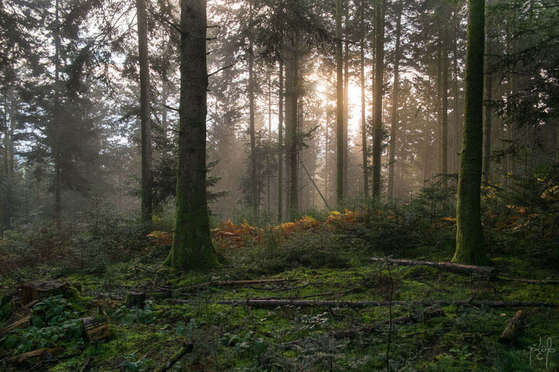 Sapinière au soleil levant