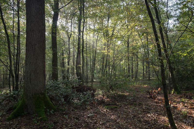 Grosse réserve de chêne de qualité en taillis avec réserve. Sous-bois au petit matin.
