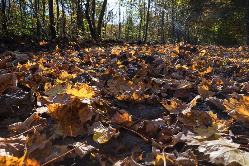 Litière de feuilles d'érable plane sur une sentier