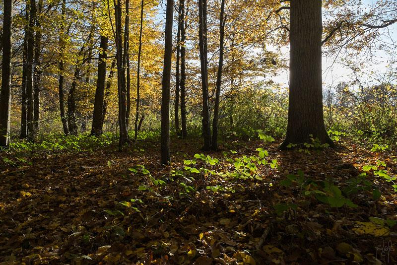 Taillis de charme à réserve de chêne dans le Der.