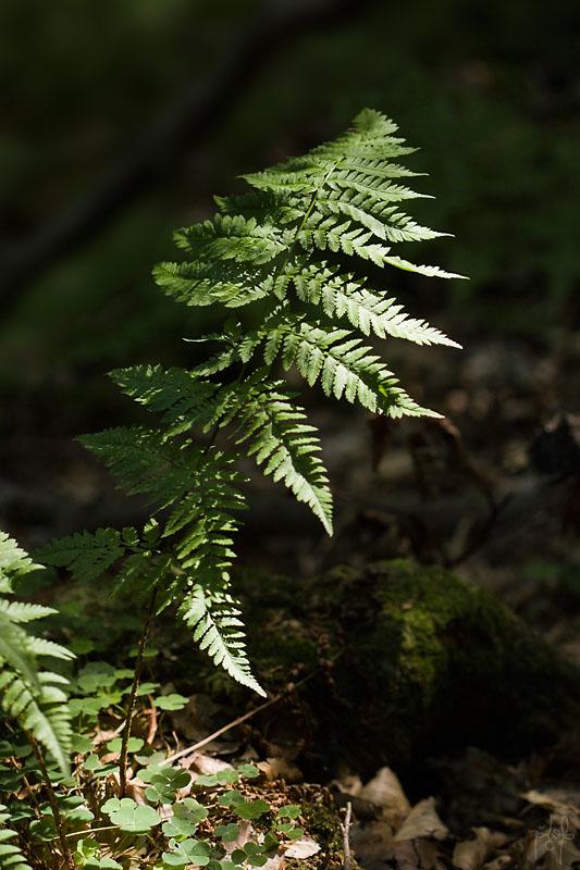 Fougère spinuleuse (Dryopteris carthusiana)