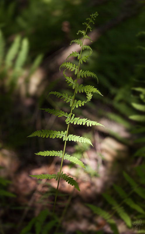 Fougère des marais (Thelypteris palustris)