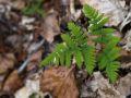Polypode du Chêne (Gymnocarpium dryopteris)