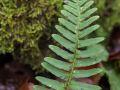 Polypode commun (Polypodium vulgare)