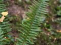 Polystic à aiguillon (Polystichum aculeatum)