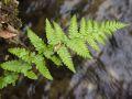 Fougère mâle (Dryopteris filix-mas)