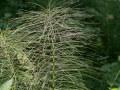 Grande prêle (Equisetum telmateia)