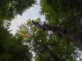 Chandelle de hêtre et chêne dépérissant